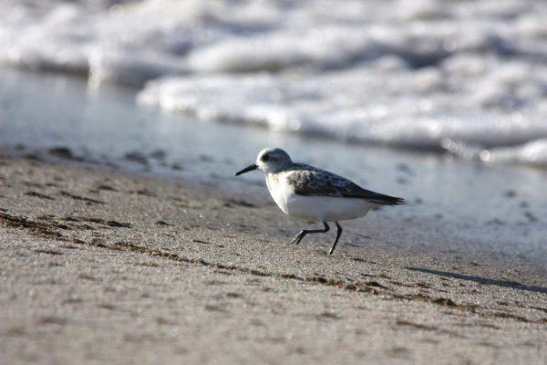 outer-cape-shore-bird-Patty-Lemme-agent